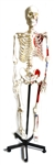 Painted Human Skeleton Model,  Mounted on a Rolling Stand