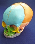 Didactic Fetal Skull, Unmounted