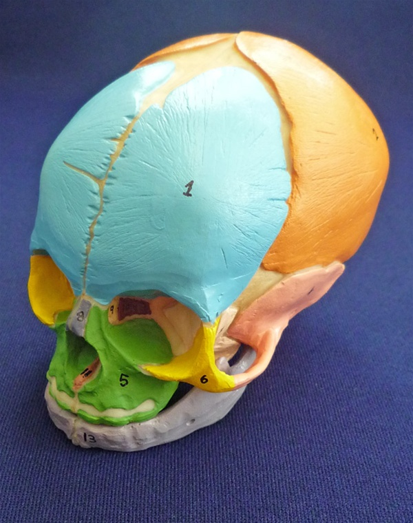 Didactic Fetal Skull Unmounted Anatomy Models And Anatomical Charts