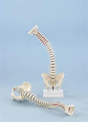 Flexible Vertebral Column with Pelvis