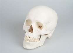 Magnetic Skull Model 3-Part