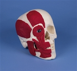 Premier Muscled Skull w/ Facial musculature