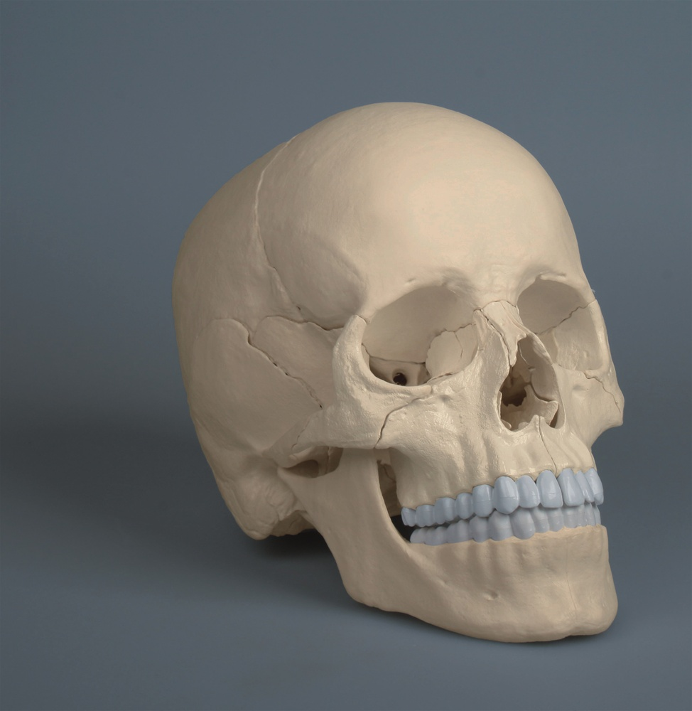 NEW! Anatomical Adult Human Skull, Magnetic, 22 part - Anatomy ...