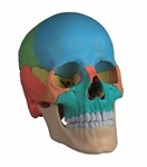 !NEW! Didactic Adult Human Skull, Magnetic, 22 part