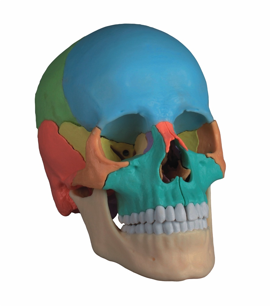 New Didactic Adult Human Skull Magnetic 22 Part Anatomy Models