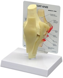 Basic Knee Joint Model w/ Anatomy Education Card