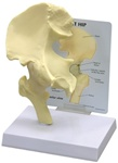 Basic Hip Joint Model w/ Anatomy Education Card