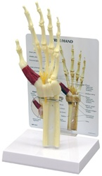 Hand and Wrist Model