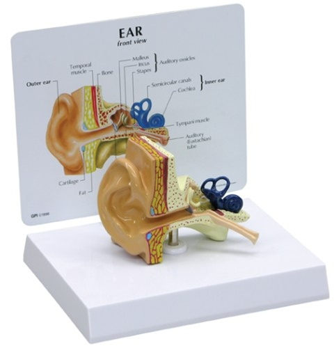Human Ear Anatomy Model W Patient Education Card Anatomy Models