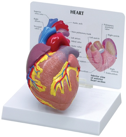 Cutaway Heart Model Anatomy Models And Anatomical Charts