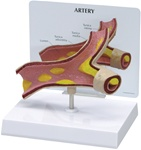 Artery Section Model