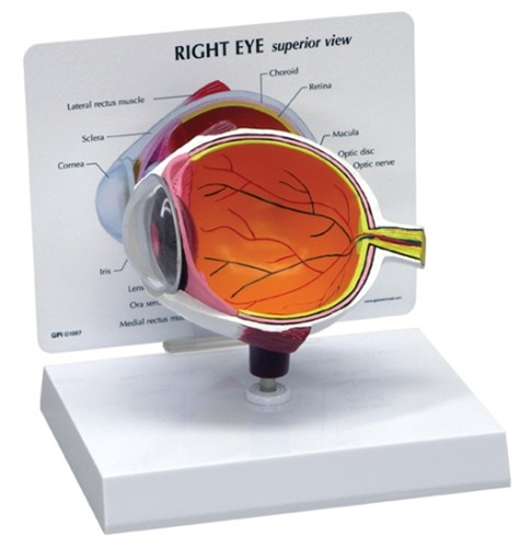 Cutaway Eye Model - Anatomy Models and Anatomical Charts