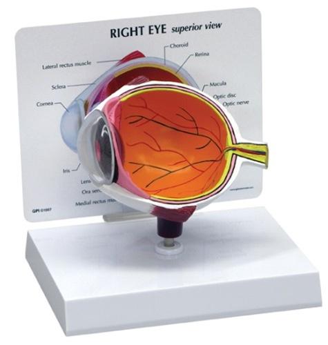 Cutaway Eye Model Anatomy Models And Anatomical Charts