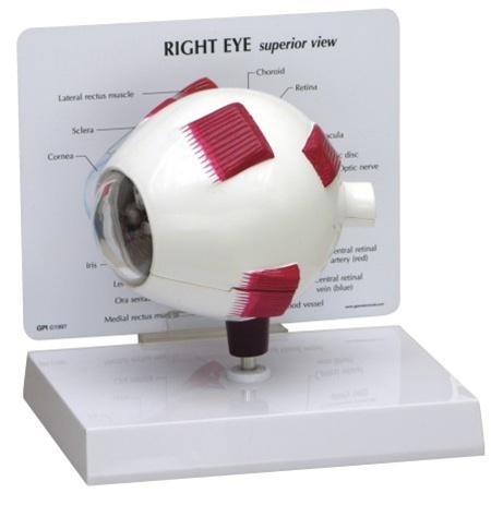 Oversized Right Eye Anatomy Model