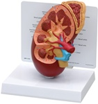 Oversize Human Kidney Anatomy Model with Patient Education Card
