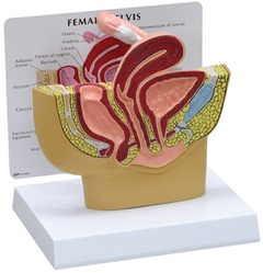 Female Pelvis Anatomy Model Cross-section
