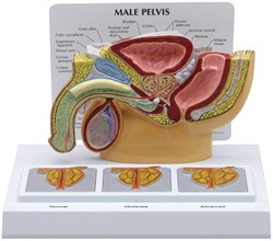 Male Pelvis Model with 3D Prostate Frame