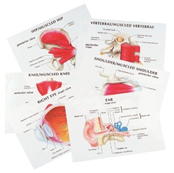 Human Anatomy Education Transparencies