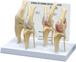 Canine 4-Stage Osteoarthritis Knee Model