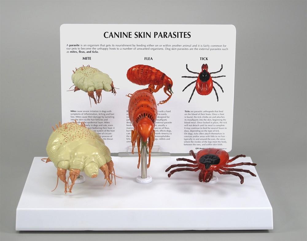 Canine Skin Parasite Model - Veterinary Skin Model