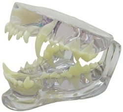 Clear Canine Jaw Model Showing Teeth