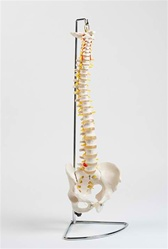 NEW DESIGN - Flexible Spine Model (Stand Included)