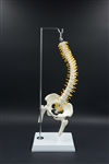 Flexible Mini Spine Model for Desktop