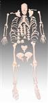 Life Size Human Skeleton Model - Disarticulated