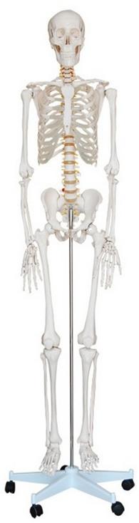Life Size Human Skeleton Model - Skeleton Models and Skeleton Charts