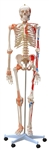 Life Size Human Skeleton Model - Painted and Ligaments