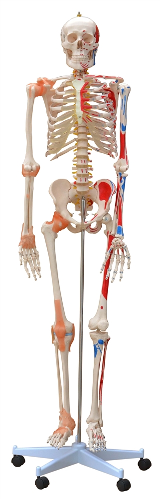 Life Size Human Skeleton Model Painted And Ligaments Skeleton
