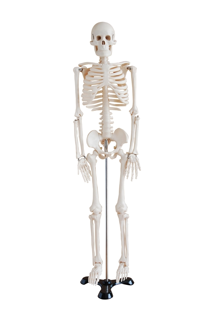 Mini Human Skeleton Model On Metal Base Skeleton Models And