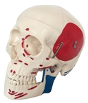 Deluxe Life Size Painted Skull - 3 part