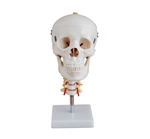 Skull with Cervical Spine Anatomical Model SAI-15SK