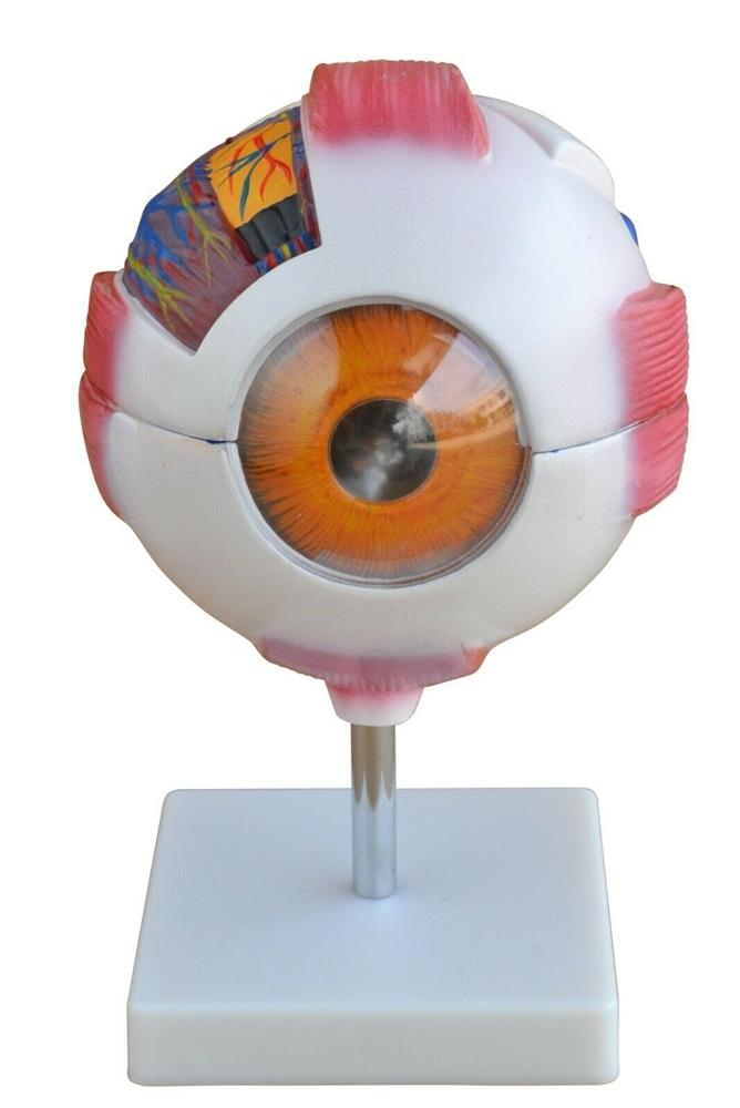Giant Eye Model 6xs Enlarged Eye Anatomy Model Sai 36eye