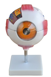 Giant Eye Model - 6x's Enlarged Eye Anatomy Model SAI-36EYE