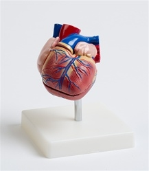 Life Size Heart Model, 2 Part