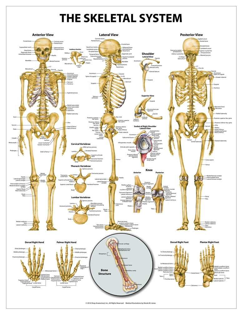Skeletal System Wall Chart 20\