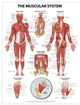 "Muscular System Wall Chart 20"" x 26"""
