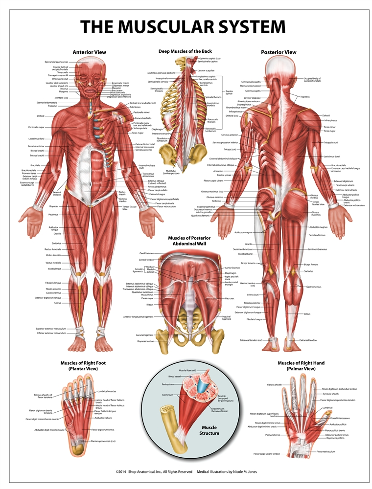 muscular system wall chart 20 quot  x 26 quot body system diagram labeled body diagram labeled with medical conditions