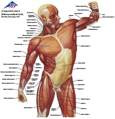 Anatomical T Shirt Musculature Anatomy Models And Anatomical Charts