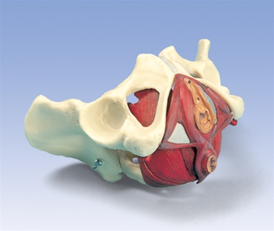 Female Pelvis And Pelvic Floor Model 5 Part Anatomy Models And