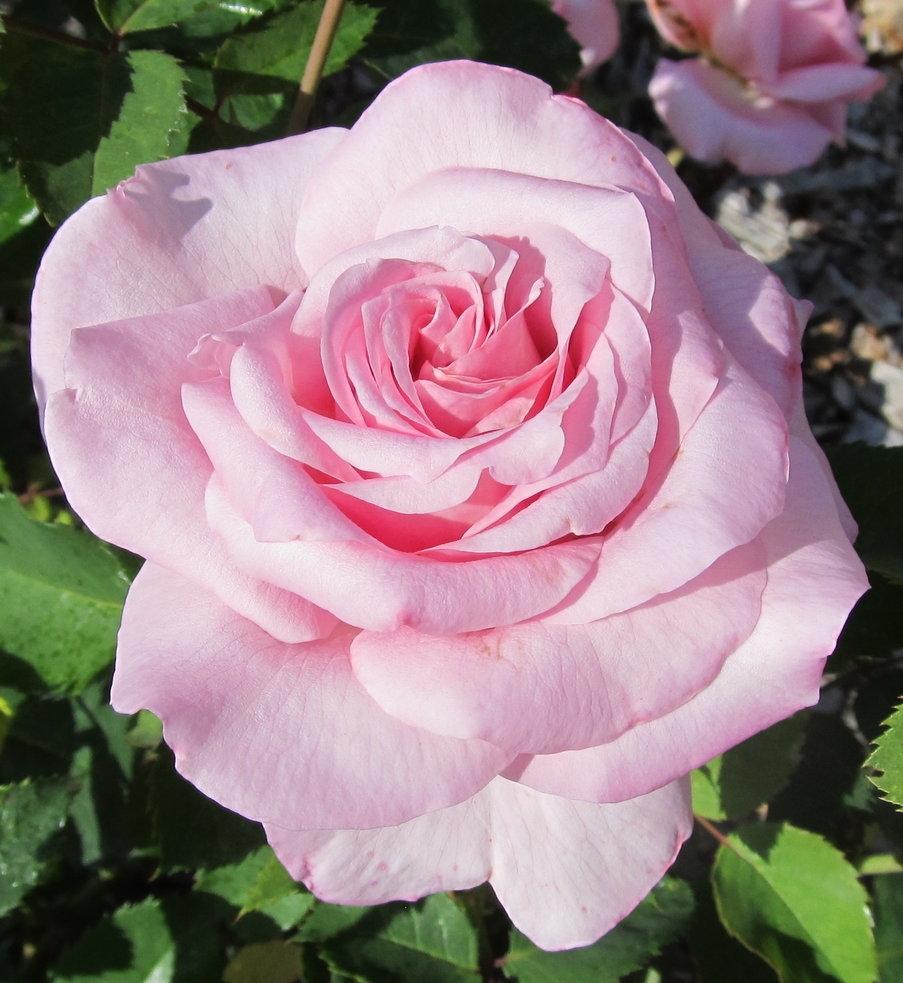 Pink Belinda S Dream Rose Plants