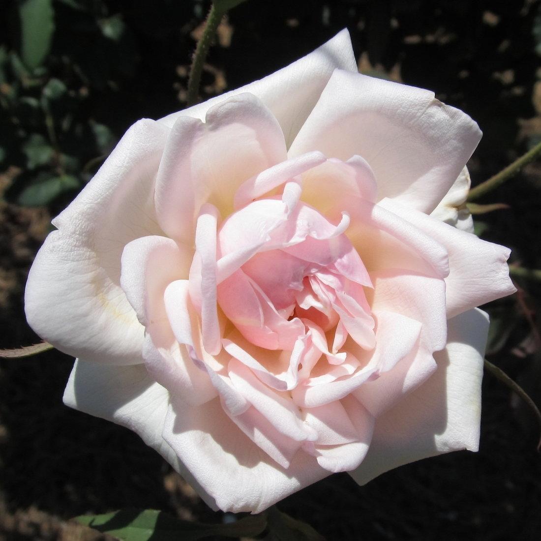 White Blend Devoniensis Cl Rose Plants