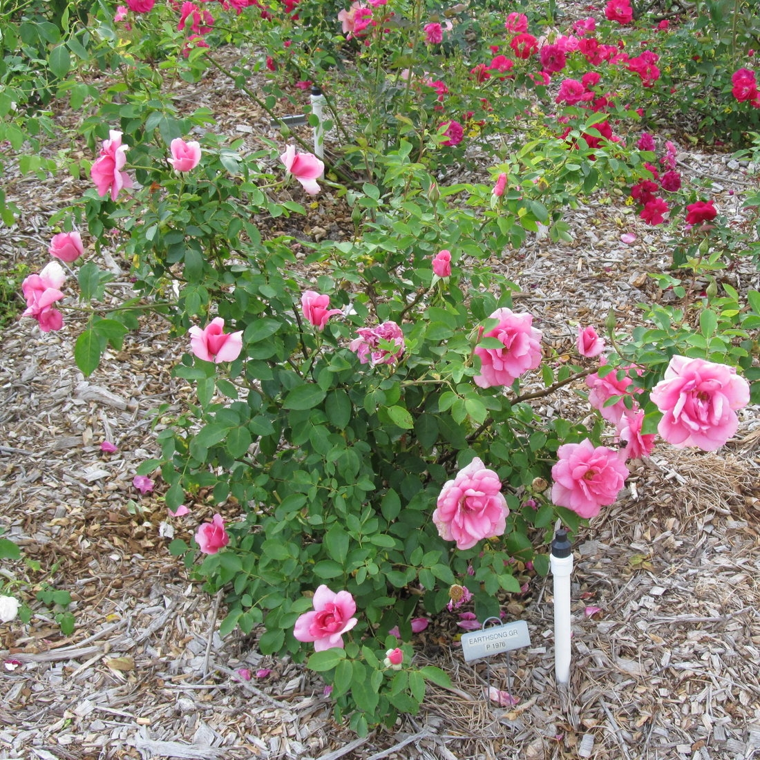 Deep Pink Earth Song Rose Plants