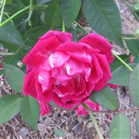 Ferndale Red China Roses