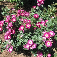 International Herald Tribune rose plants