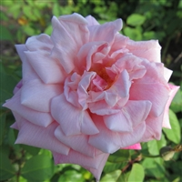 Madame Lombard Roses