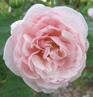 Mademoiselle Blanche Lafitte roses