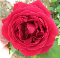 Rhode Island Red roses
